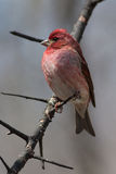 Purple Finch on a Natural Perch. Purple Finch perched on a tree branch Stock Photography