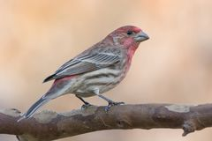 Purple Finch on a Tree Branch Stock Images