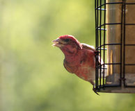 Purple Finch Stare Stock Photography