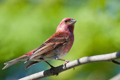 Purple Finch Stock Image