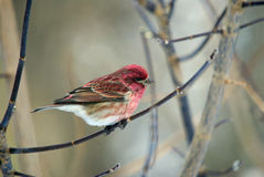 A Purple Finch Stock Photography
