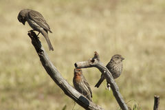 Purple finches. Two female and a male purple finches congregating on a dead tree limb Royalty Free Stock Images