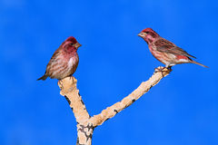 Purple Finches (Carpodacus purpureus) Stock Photography