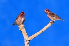 Purple Finches (Carpodacus purpureus) Stock Photography