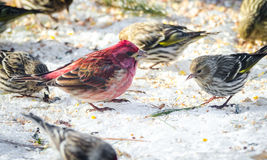 Purple finches (Haemorhous purpureus) at a feeder.  Springtime comes, bird seed aplenty. Royalty Free Stock Photo