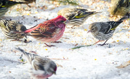 Purple finches Haemorhous purpureus at a feeder.  Springtime comes, bird seed aplenty. Royalty Free Stock Photo