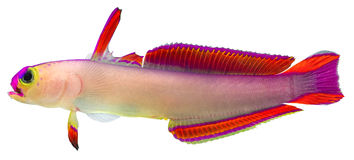 Purple Firefish Stock Photos