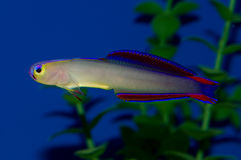 Purple Firefish Royalty Free Stock Images