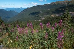Purple fireweed with background of Mount Baker - Snoqualmie Nat royalty free stock photography