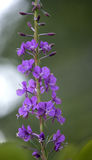 Purple fireweed blooming in California Royalty Free Stock Photos