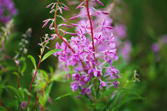 Purple fireweed flowers among green grass Stock Photography