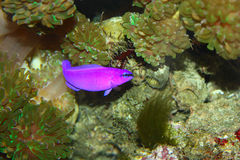 Purple fish Royalty Free Stock Images
