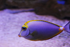 Purple fish Stock Photos