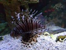 Fish in an aquarium. Purple fish in an aquarium stock photos