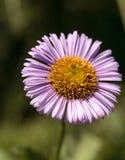 Purple Fleabane Daisy Wildflower, Erigeron annuus Royalty Free Stock Images