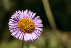 Purple Fleabane Daisy Wildflower, Erigeron annuus Stock Photo