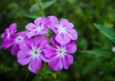 Purple floral. Purple garden flowers Stock Photography
