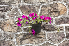 Purple flores. Pot hanging on stone wall Royalty Free Stock Image