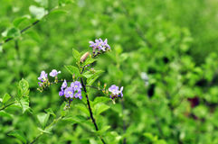Purple flower. Small purple flowers being surrounded by small leaves Stock Images