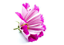 Purple flower. Closeup of purple flower isolated on white background stock photography