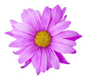 Purple Flower. With clipping path Stock Photo