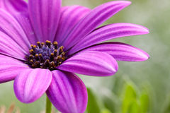 Purple flower Royalty Free Stock Photos