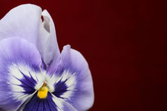 Purple flower. Beautiful violet flower on a red background stock images