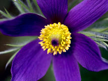 Purple flower. A very close shot / macro of a purple flower Royalty Free Stock Photography