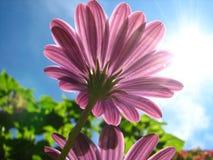 Purple flower. In the sun Stock Photo