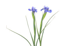 Purple flower. Beautiful purple flower- useful design element Stock Photography