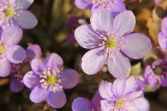 Purple flower Stock Image
