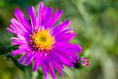 Purple flower. Michaelmas daisy purple flower on green Royalty Free Stock Photos