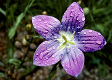Purple Flower. Close-up of beautiful purple flower with dew drops Stock Photo