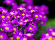 Purple flower. Large image of flower background Stock Images