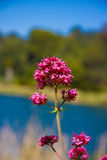 Purple flower. On the sky and lake background Royalty Free Stock Photography