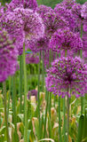 Purple flower Stock Photos