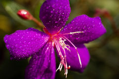 Purple flower. And the dew Royalty Free Stock Photography
