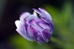 Purple Flower Royalty Free Stock Images