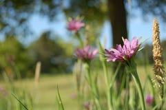 Purple Flower. A purple flower in a field Stock Photos