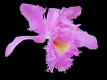 Purple Flower. Isolated on black Stock Photo