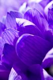 Purple flower. A close up photo of a Purple flower Royalty Free Stock Photos