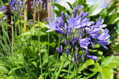 Purple flower of an agapanthus plant. Opening up royalty free stock image
