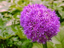 Purple flower alium background Stock Photos