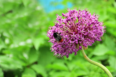 Purple flower of allium with shaggy bumblebee sitting on it Stock Photo