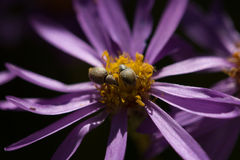 Purple flower with aphids. A flower with purple petals and aphids on the yellow center Royalty Free Stock Photography