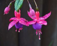 Flower of purple Aquilegia. Plants stock photography
