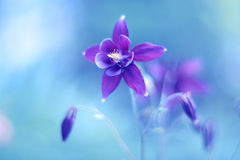 Purple Flower Aquilegia On A Blue Background. Beautiful Flower With Pastel Shades. Soft Focus. Art Image Stock Image