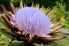 Purple flower of an artichoke Royalty Free Stock Photography