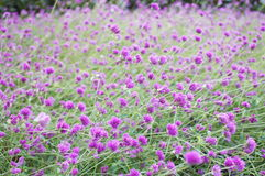 Purple Flower Background. A background image of a field full of little purple flowers Stock Photos