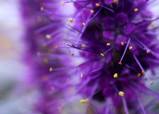 Purple Flower Background. This is actually an extreme close up of a wildflower. The yellow/orange bits are pollen nodes. Extremely shallow depth of field with Royalty Free Stock Photo